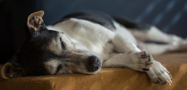 Old Jack Russel sleeping on a sofa