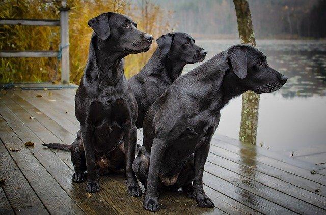 Three black Labrador dogs sitting on a wooden dock