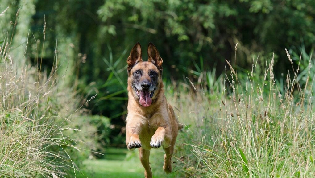 Brown dog leaping in green grass with a smile