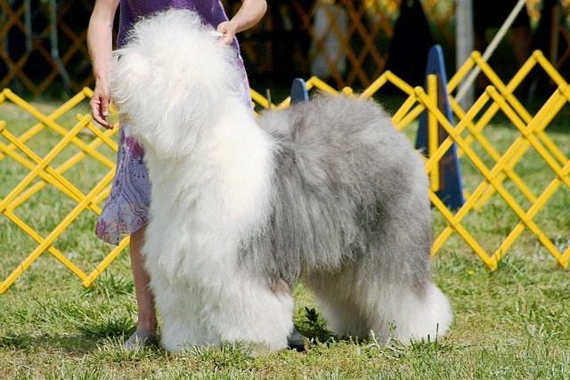 old english sheepdog in contest ring