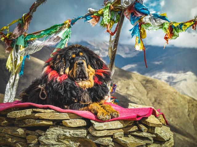 Tibetan Mastiff resting on blanket in the mountain