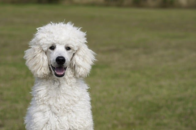 poodle dog in the grass
