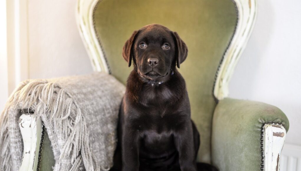 young mini labrador sitting in a chair