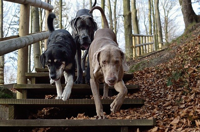 Three dogs walking down wooden outdoor stairs