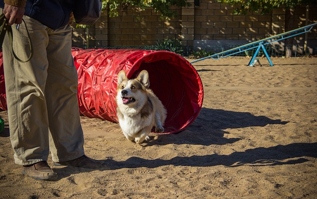 Corgi led through a puppy tunnel next to a trainer