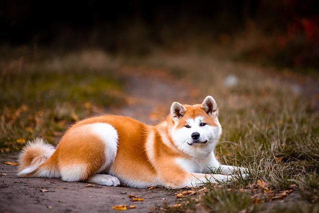 Akita dog lying on the ground