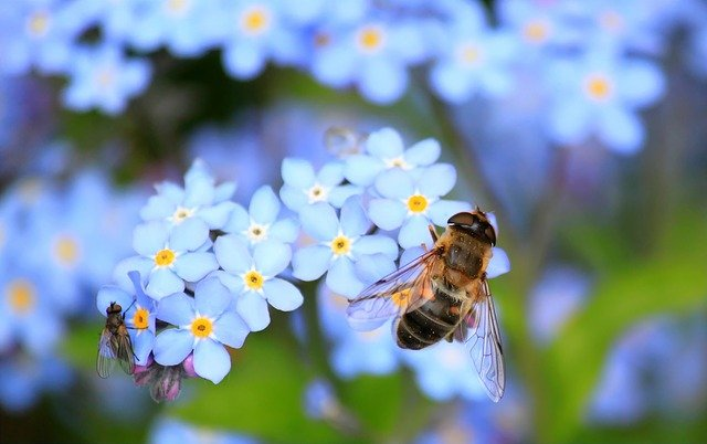 Blue flowers with a bee