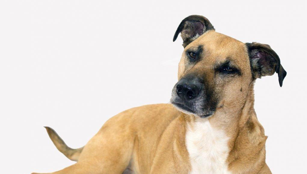 black mouth cur dog