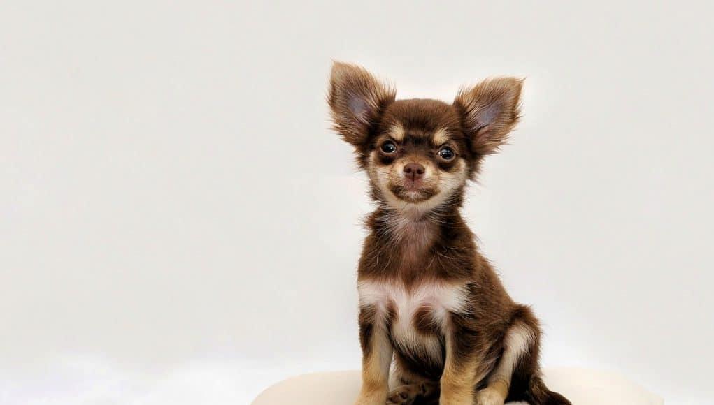 Cute small chihuahua