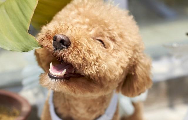 smiling cavapoo poodle dog