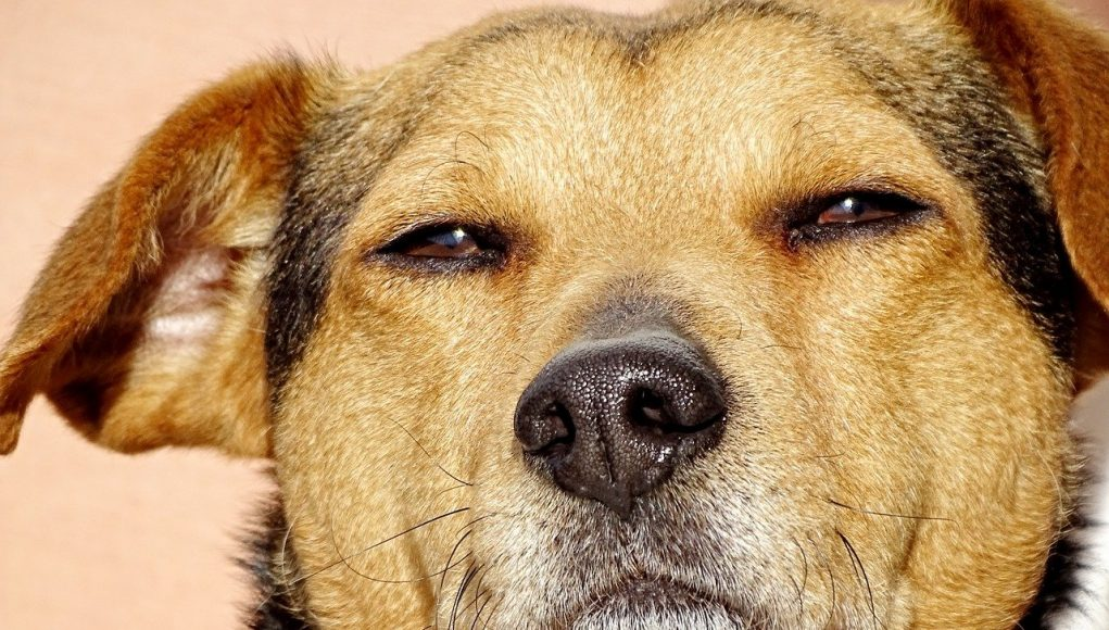dog with barely open eyes - can dogs get high cover image