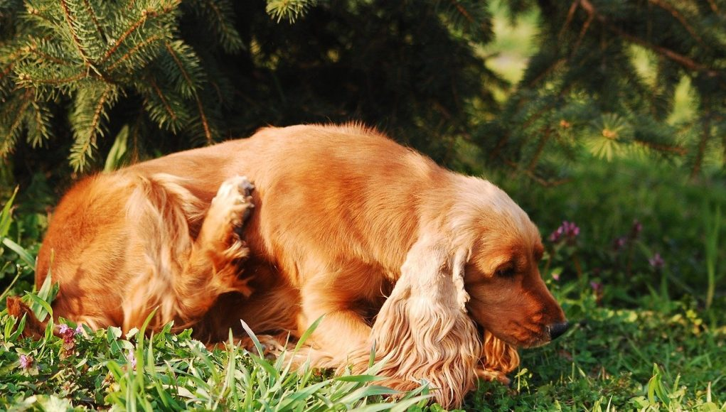 cocker spaniel scratching itself in the grass - home remedies for dog skin allergies itching cover image