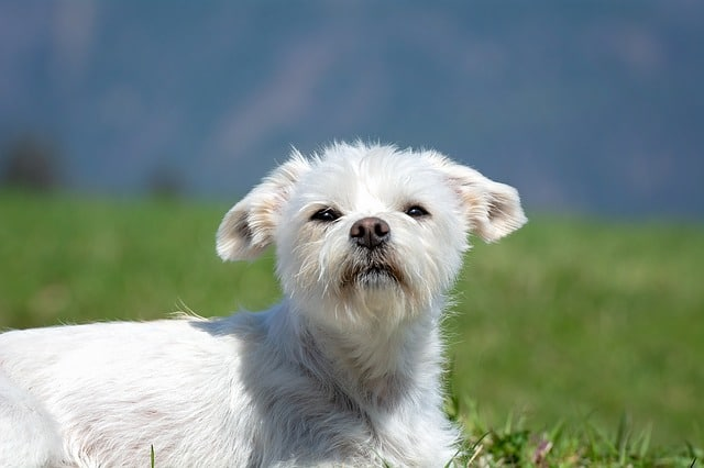 Small white havanese dog breed sniffing the air