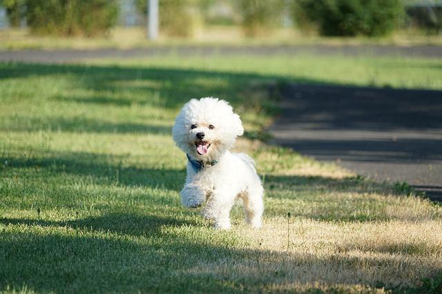 Bichon Frise dog running
