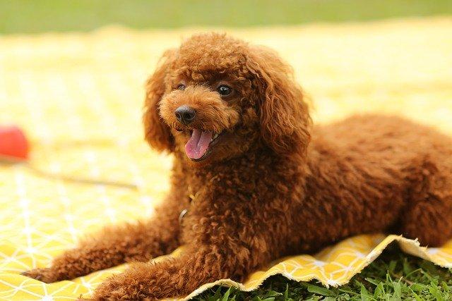 mini poodle dog on a picnic blanket