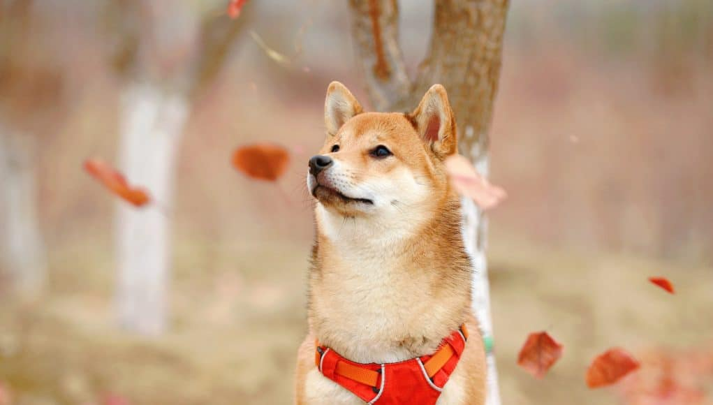 One of the most popular japanese dog breeds — Shiba Inu in a park with falling leaves.
