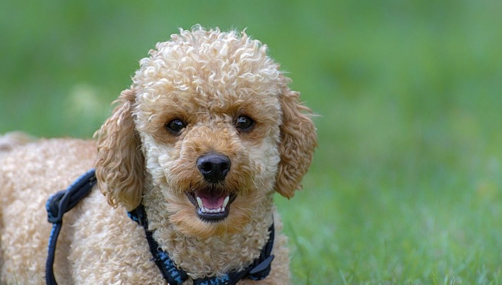 mini poodle playing with a ball - mini poodle cover