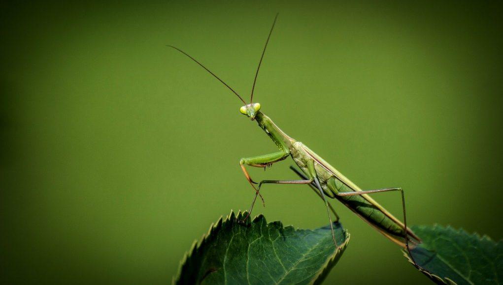 Green praying-mantis on green leaf