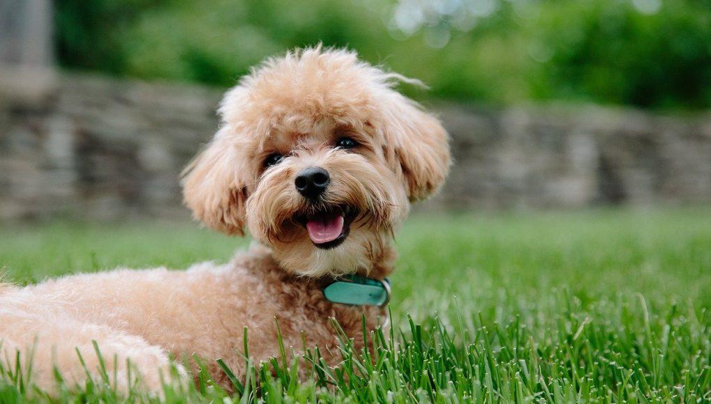 cavapoo puppy in the garden