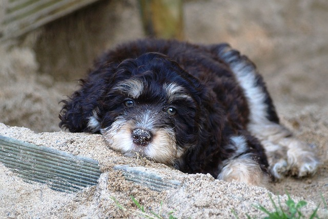 aussiedoodle laying on the ground