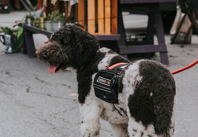 black and white service dog on a walk