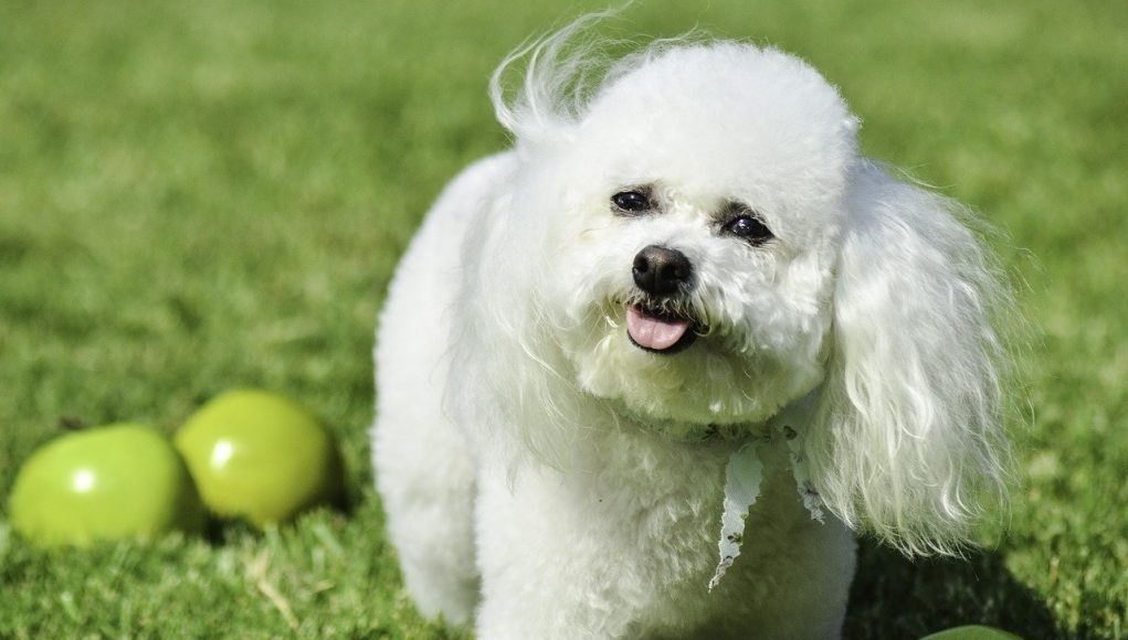 small white dog in between a lot of green apples - can dogs eat apples cover